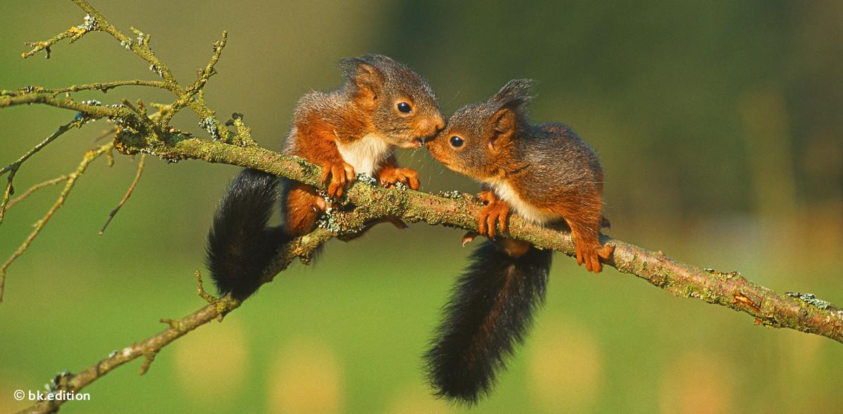 211403 – Eichhörnchenpaar