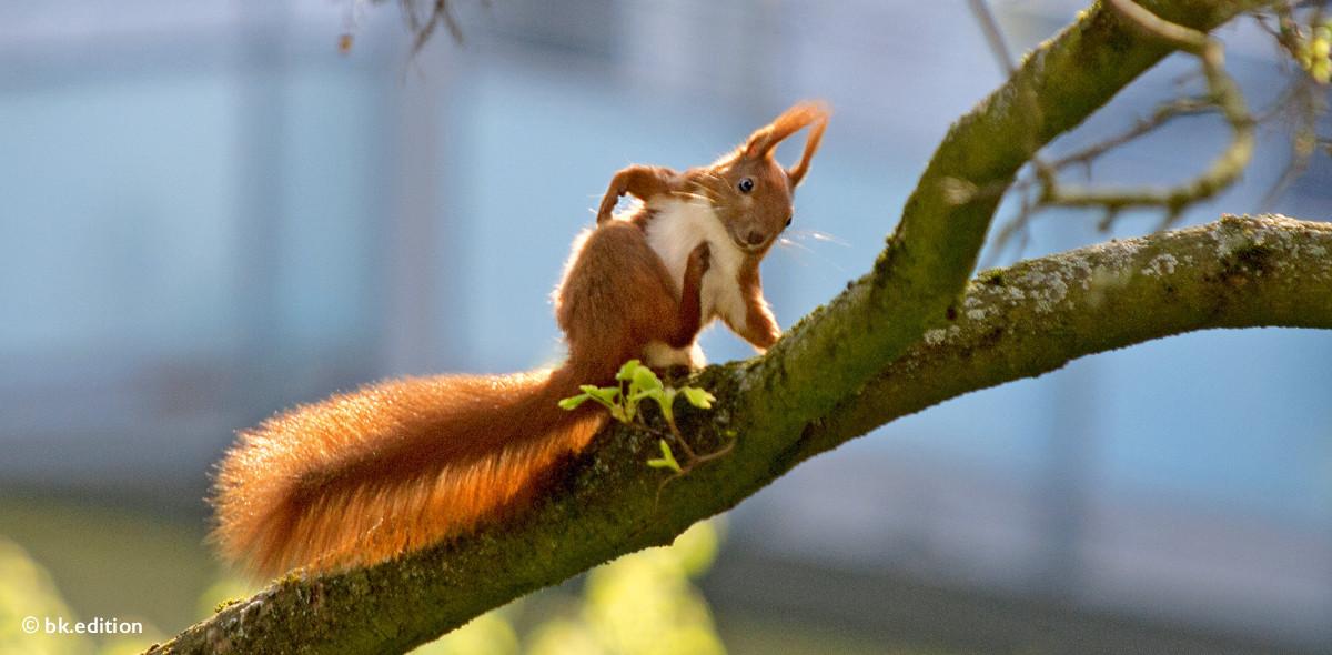 211418 – Freches Eichhörnchen