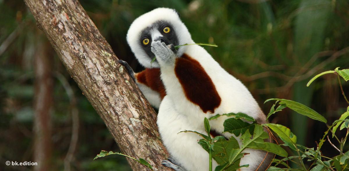 211420 – Lemur