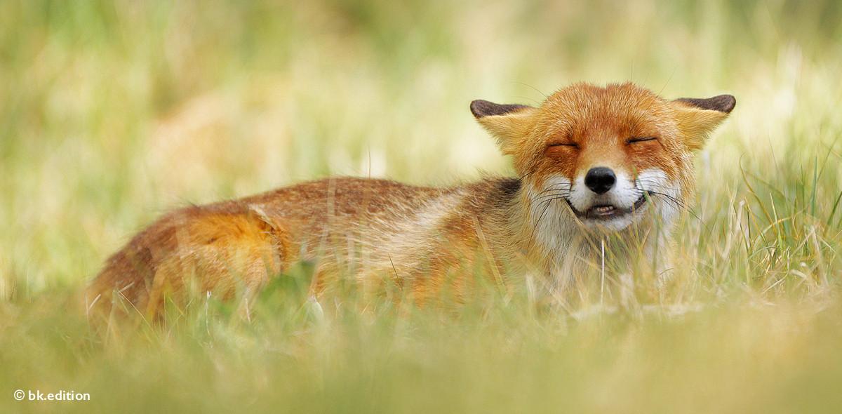 211421 – Grinsender Fuchs