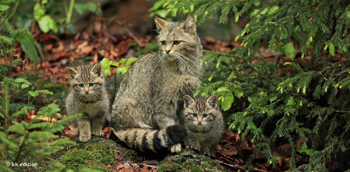211427 – Wildkatzen