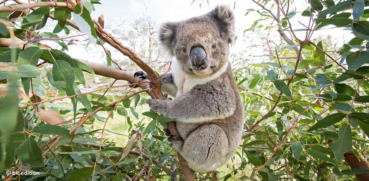211464 – Koala
